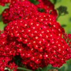 Achillea millefolium 'Red Velvet' Common yarrow