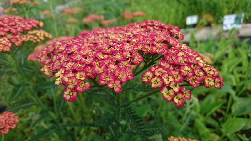 Achillea millefolium 'Tricolor' Common yarrow