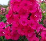 Phlox paniculata 'Strawberry Daiquiri' Флокс метельчатый