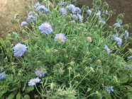 Scabiosa japonica var alpina 'Blue Diamonds'