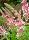 Lythrum salicaria 'Blush' Дербенник иволистный