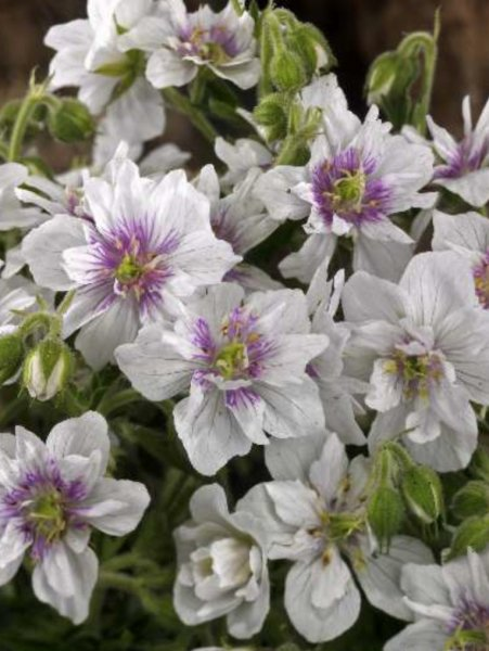 Geranium pratense 'Double Jewel'