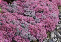 Sedum cauticolum 'Robustrum'