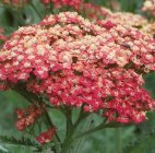 Achillea millefolium 'Belle Epoque' Common yarrow