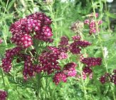 Achillea millefolium 'Sammetriese' Common yarrow