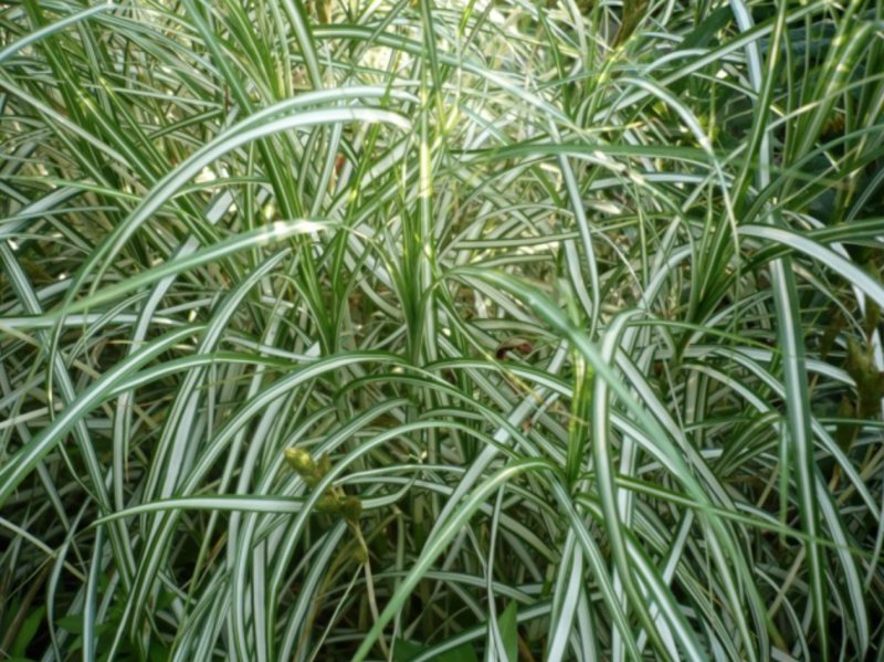 Carex muskingumensis 'Bicolor Fountain'