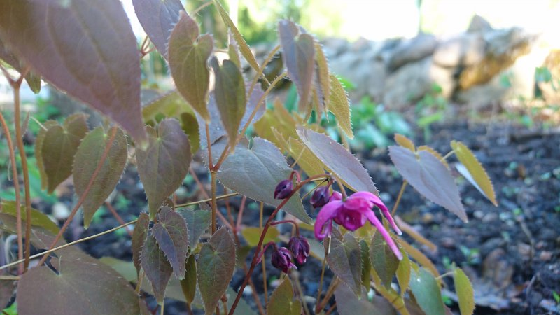 Epimedium grandiflorum 'Rose Queen' Idänvarjohiipa