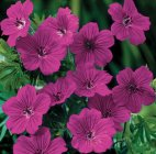 Geranium 'Tiny Monster' Kurereha
