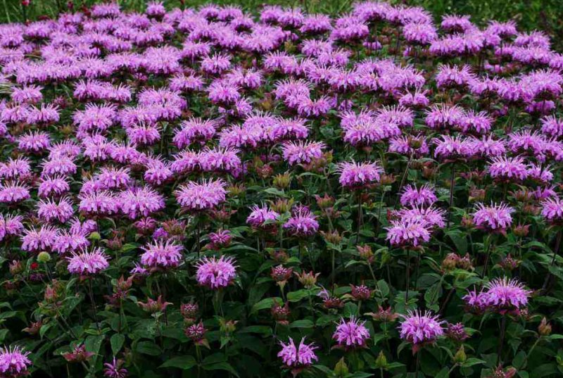 Monarda menthifolia Mint-leaved bergamot