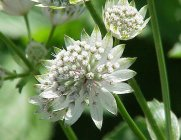 Astrantia major Masterwort