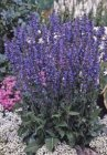 Salvia x sylvestris 'Rhapsody in Blue'