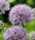 Allium 'Summer Beauty' Lauk
