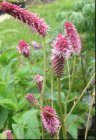 Sanguisorba 'Rock and Roll' Luppio