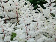 Astilbe x arendsii 'Rock and Roll' Arendsi astilbe