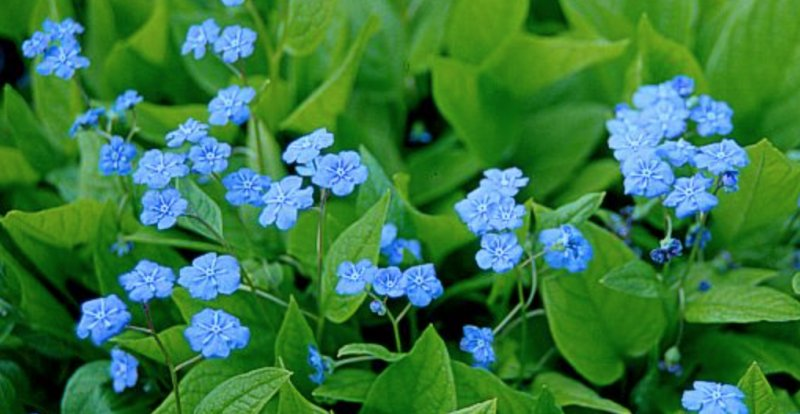 Omphalodes verna Blue-eyed-Mary
