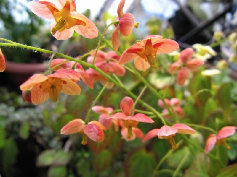 Epimedium pubigerum 'Orange Königin'