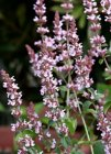 Nepeta nuda 'Purple Cat'