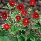 Potentilla atrosanguinea 'Red' Лапчатка