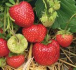 Fragaria x ananassa 'Rumba' Strawberry
