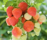 Fragaria x ananassa 'Sonata' Strawberry