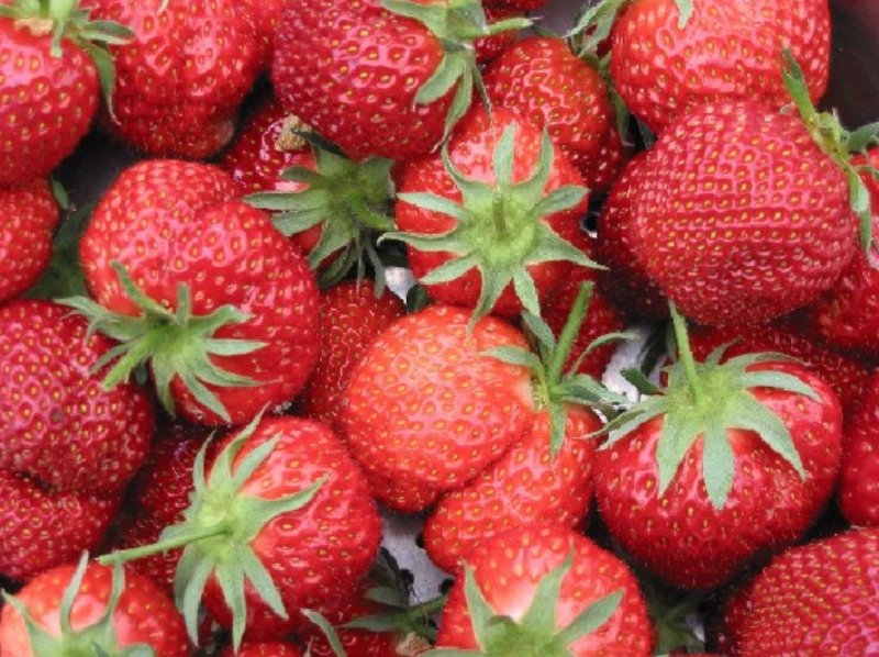 Fragaria x ananassa 'Ostara' Strawberry