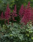 Astilbe 'Burgundy Red' Астильбе