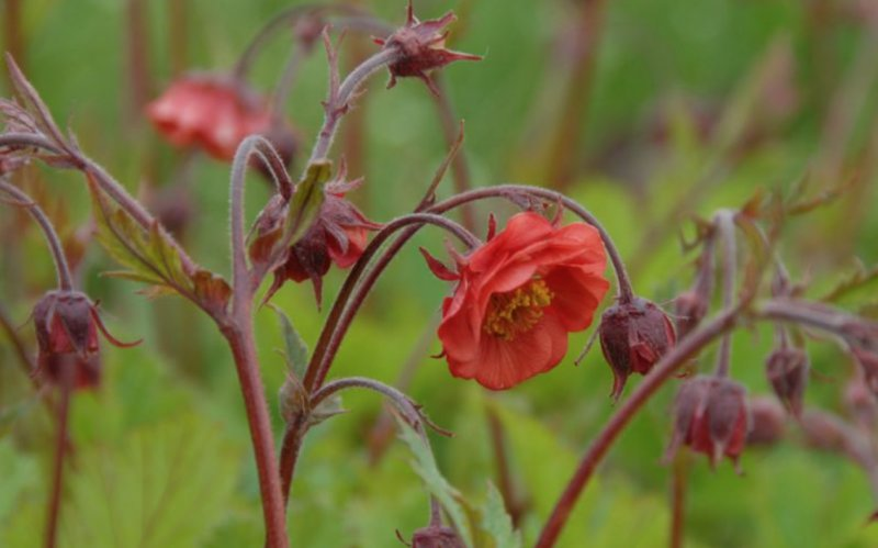 Geum rivale 'Flames of Passion' Ojakelluka