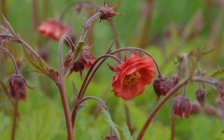 Geum rivale 'Flames of Passion' Гравилат речной