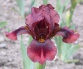 Iris x germanica 'Brown Doll' Ирис низкий