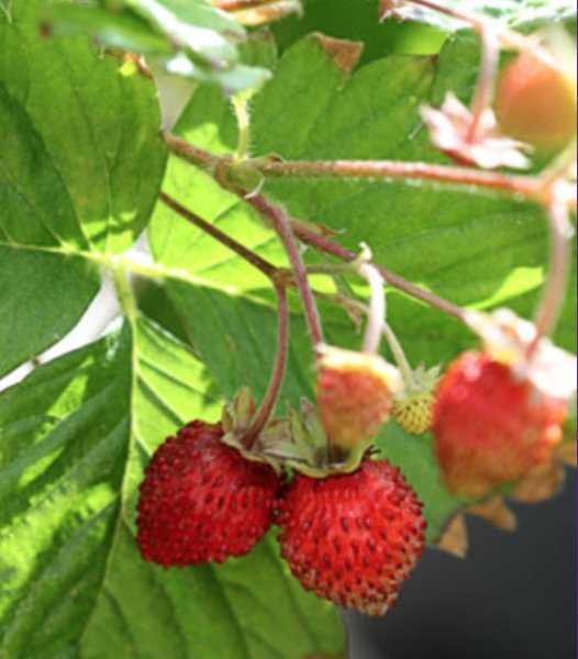 Fragaria vesca 'Improved Rügen' Земляника
