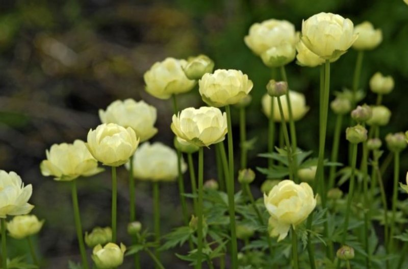 Trollius cultorum 'New Moon'