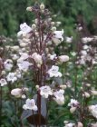 Penstemon digitalis 'Husker Red' Пенстемон­ дигиталис