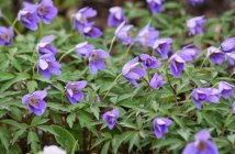 Anemone nemorosa 'Royal Blue' Ветреница дубравная