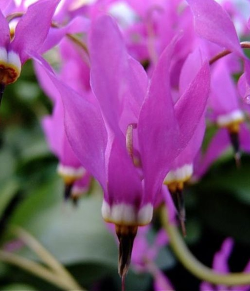Dodecatheon meadia 'Red Wing'