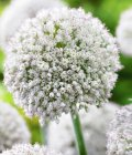 Allium 'White Cloud'