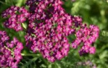 Achillea millefolium 'Velour' Common yarrow