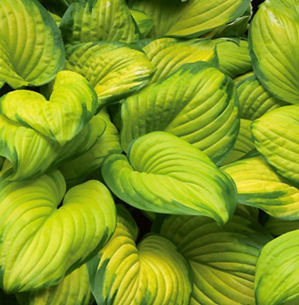Hosta 'Stained Glass' Хоста гибридная