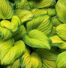 Hosta 'Stained Glass' Komeakuunlilja