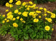 Doronicum orientale 'Little Leo' Дороникум восточный
