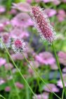 Sanguisorba officinalis 'Pink Tanna' Кровохлёбка