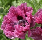 Papaver orientale 'Manhattan' Мак восто́чный