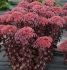 Sedum 'Dark Magic' Очиток