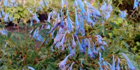 Corydalis flexuosa 'Porcelain Blue'