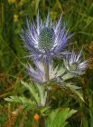 Eryngium alpinum  'Blue Star' alpine sea holly
