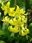 Erythronium 'Pagoda' Trout Lily