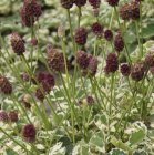 Sanguisorba minor 'Little Angel' harilik mustnupp